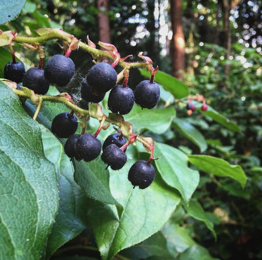 Salal with berries