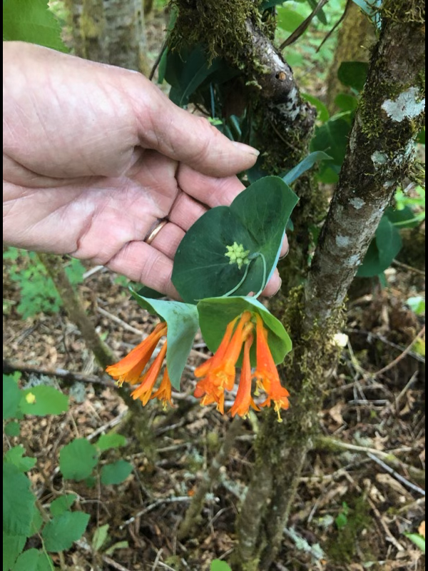 Native Honeysuckle